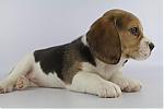 Beagle-teef-3641-1.JPG