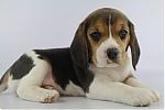 Beagle-teef-3650-1.JPG