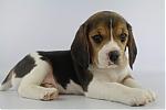 Beagle-teef-3650-2.JPG