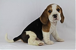 Beagle-teef-5141-2.JPG