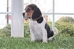 Beagle-teef-6224-2_28Kopie29.jpg