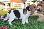 Beagle-teef-7315-1_28Kopie29~0.jpg