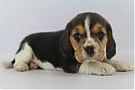 Beagle-teef-7558-1.JPG