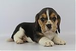 Beagle-teef-7558-2.JPG