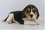 Beagle-teef-7580-1.JPG