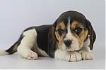 Beagle-teef-7580-2.JPG