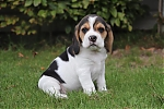 Beagle-teef-7628-3.JPG