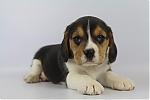 Beagle-teef-7630-1.JPG