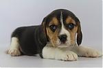 Beagle-teef-7630-2.JPG