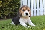 Beagle-teef-7685-1.JPG