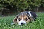Beagle-teef-7685-2.JPG