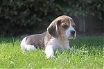 Beagle-teef-7686-1.JPG