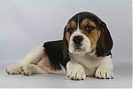Beagle-teef-7725-1.JPG