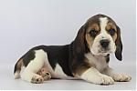 Beagle-teef-8513-1.JPG