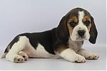 Beagle-teef-8513-2.JPG