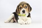 Belgische-Beagle-pups-te-koop-reu-2102-1.JPG