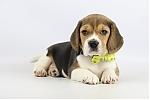 Belgische-Beagle-pups-te-koop-teef-2081-2.JPG