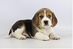 Belgische-Beagle-pups-te-koop-teef-2085-2.JPG