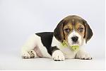 Belgische-Beagle-pups-te-koop-teef-2240-1.JPG