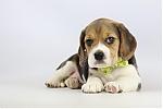 Belgische-Beagle-pups-te-koop-teef-2257-2.JPG