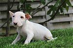 Bull-Terrier-man-9180a_28Kopieren29.JPG