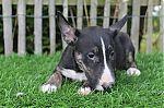 Bull-terrier-teef-4127-1_28Kopie29.JPG