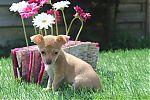 Chihuahua-beige-reu-7848.jpg