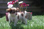 Chihuahua-bicolor-reu-9197-2.jpg