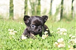 Chihuahua-reu-7313-2.JPG