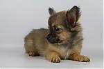 Chihuahua-reu-poesmans-5552-1.JPG