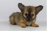 Chihuahua-reu-poesmans-5552-2.JPG