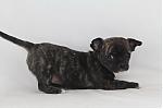 Chihuahua-teef-5051-2.JPG