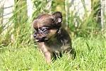 Chihuahua-teef-7333-2.JPG