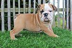 Engelse-bulldog-reu-4156-2_28Kopie29.JPG