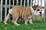 Engelse-bulldog-teef-4169-2_28Kopie29.JPG
