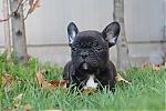 Franse-Bulldog-reu-3794-1.JPG