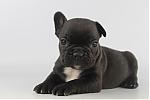 Franse-Bulldog-reu-3827-2.JPG