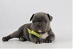 Franse-bulldog-reu-1936-1.JPG