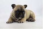Franse-bulldog-reu-7081-2.JPG
