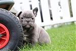 Franse-bulldog-reu-7659-1.JPG