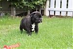 Franse-bulldog-reu-7694-1.JPG