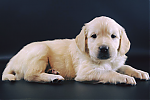 Golden-Retriever-reu-3223-3.png