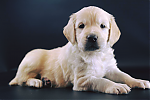 Golden-Retriever-reu-3223-4.png