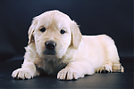 Golden-Retriever-reu-3322-3.png