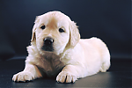 Golden-Retriever-reu-3322-4.png