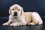 Golden-Retriever-reu-3438-1.png