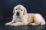 Golden-Retriever-reu-3438-4.png