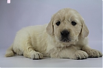 Golden_Retriever-reu-7715-1.JPG