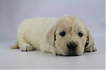 Golden_Retriever-reu-7715-2.JPG