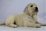 Golden_Retriever-reu-7716-1.JPG